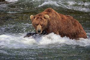 Grizzly Bear (Ursus arctos horribilis) adult, fishing for migrating salmon, Brooks River, Katmai by Jurgen & Christine Sohns