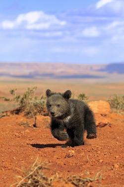 Grizzly Bear (Ursus arctos horribilis) cub, running in high desert, Monument Valley, Utah by Jurgen & Christine Sohns
