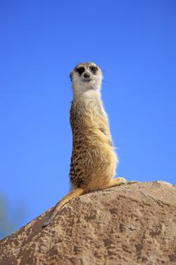 Meerkat (Suricata suricatta) adult, on lookout, Little Karoo, Western Cape by Jurgen & Christine Sohns