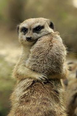 Meerkat (Suricata suricatta) adult pair, hugging (captive) by Jurgen & Christine Sohns