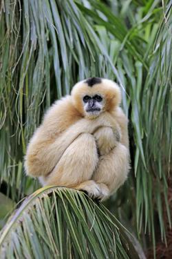 Northern White-cheeked Gibbon (Nomascus leucogenys) adult female, sitting on palm frond (captive) by Jurgen & Christine Sohns