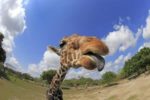Reticulated Giraffe (Giraffa camelopardalis reticulata) adult, with tongue sticking out (Miami Zoo) by Jurgen & Christine Sohns