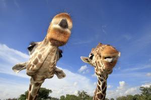 Reticulated Giraffe (Giraffa camelopardalis reticulata) two adults, close-up of heads, captive by Jurgen & Christine Sohns