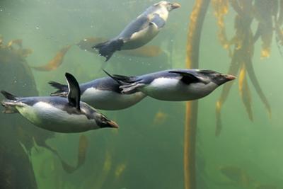 Rockhopper Penguin (Eudyptes chrysocome) four adults, swimming in kelp forest, June (captive) by Jurgen & Christine Sohns