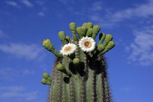 Saguaro Cactus (Cereus giganteus) flowering, Sonora Desert, Arizona, USA by Jurgen & Christine Sohns