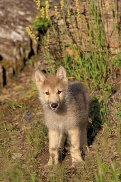 Timber Wolf (Canis lupus) eight-week old cub, standing, Montana, USA by Jurgen & Christine Sohns
