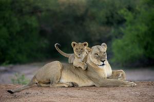 Transvaal Lion (Panthera leo krugeri) adult female and cub, Kalahari Desert by Jurgen & Christine Sohns