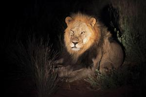 Transvaal Lion (Panthera leo krugeri) adult male, resting in semi-desert at night, Kalahari Desert by Jurgen & Christine Sohns
