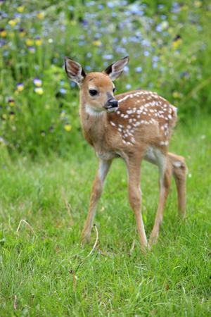White-tailed Deer (Odocoileus virginianus) fawn, standing in meadow, Minnesota, USA by Jurgen & Christine Sohns