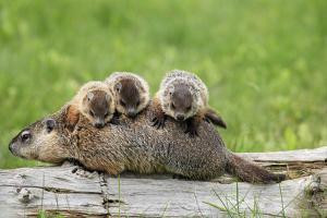 Woodchuck (Marmota monax) adult, carrying three young on back, Minnesota, USA by Jurgen & Christine Sohns