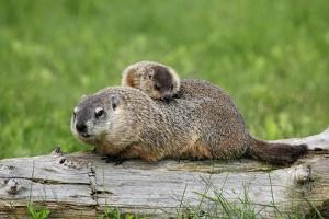 Woodchuck (Marmota monax) adult, carrying young on back, Minnesota, USA by Jurgen & Christine Sohns