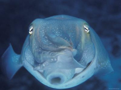 Broadclub Cuttlefish, Face-On, Great Barrier Reef, Australia