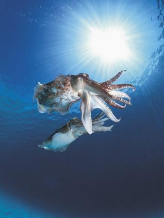 Broadclub Cuttlefish Mating, Sulu-Sulawesi Seas, Indo-Pacific