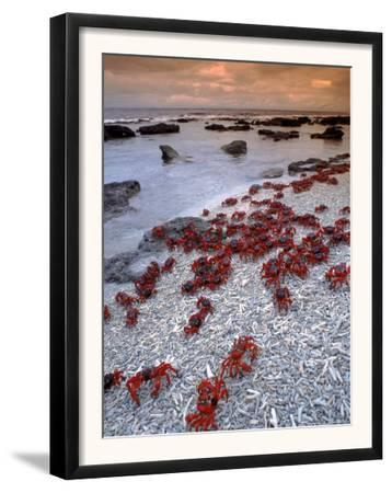 Christmas Island Red Crabs, on the Shore, Indian Ocean, Australia