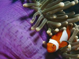 False Clown Anemonefish in Anemone Tentacles, Indo Pacific by Jurgen Freund