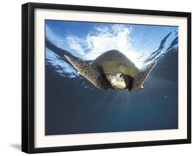 Green Turtle Swimming, Sulu-Sulawesi Seas, Indo Pacific Ocean