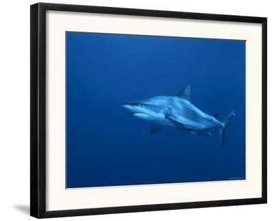 Grey Reef Shark, Coral Sea, Queensland, Australia