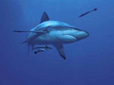 Grey Reef Shark, with Remora Fish, Great Barrier Reef, Queensland, Australia