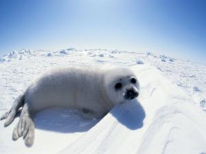 Harp Seal Pup on Ice, Magdalen Is, Canada, Atlantic by Jurgen Freund