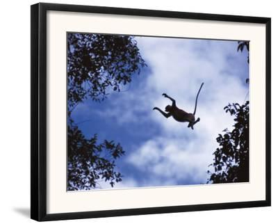 Proboscis Monkey Leaping from Tree, Borneo, Indonesia