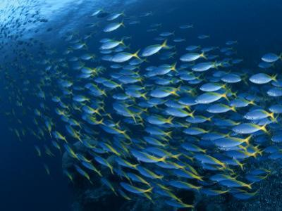 Schooling Blue and Gold Fusilers, Indo-Pacific