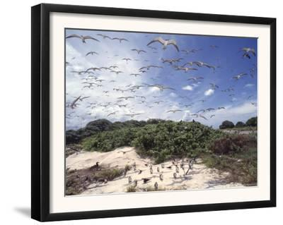 Tern Colony on Tubbataha Reef Philippines