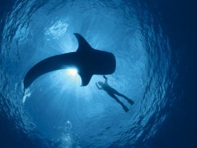 Whale Shark and Person Swimming in Silhouette, Indo Pacific