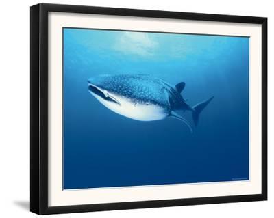 Whale Shark, Indo Pacific by Jurgen Freund