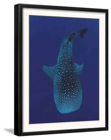 Whale Shark, Sulu-Sulawesi Seas, Indo-Pacific by Jurgen Freund