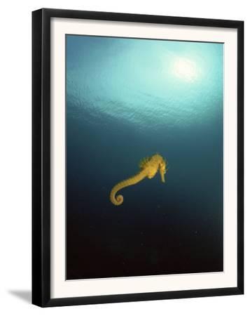 Yellow Seahorse Against Sunlight, Mediterranean Sea