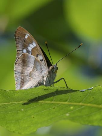 Lesser purple emperor butterfly (Apatura ilia), sitting on a leaf, Finland, August.