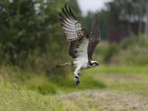 Osprey (Pandion Haliaetus) Flying With Fish Prey, Pirkanmaa, Finland, August by Jussi Murtosaari
