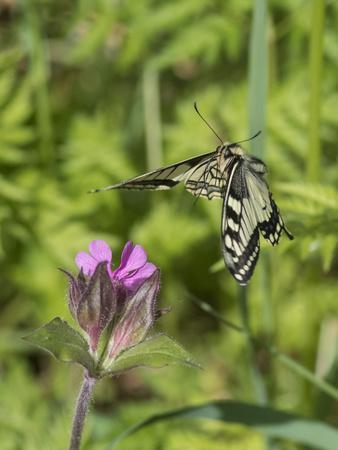 Swallowtail butterfly flying to red campion with proboscis extended, Finland