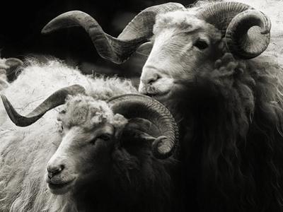 Wallachian Sheep by just for fun
