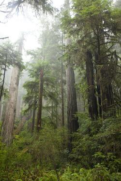 Scenic Image of Redwood National Park, Ca. by Justin Bailie