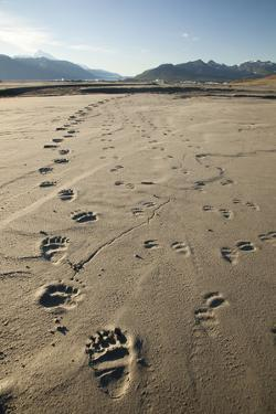 Tracks of a Grizzly Bear Family in the Mud Flats of Alsek Lake in Glacier Bay National Park, Alaska by Justin Bailie