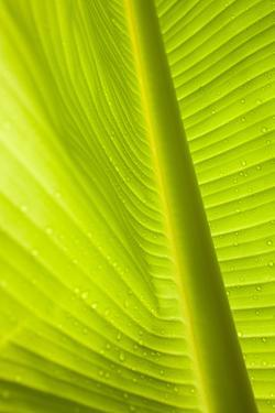 Waterdrops on a Banana Leaf after a Short Rain Burst in the Andes Mountains, Peru by Justin Bailie
