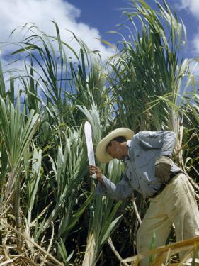 Man Cuts Sugar Cane with a Machete by Justin Locke