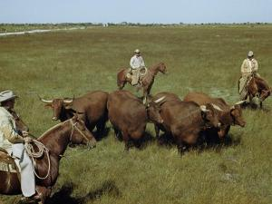Rancher and Cowboys Inspect Grass-Fattened Steers by Justin Locke