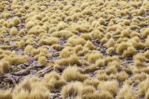 Chile, Pampas Incahuasi, Ischu Grass by Jutta Ulmer