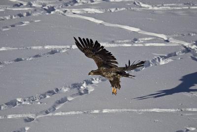 https://imgc.allpostersimages.com/img/posters/juvenile-golden-eagle-aquila-chrysaetos-in-flight-over-snow-in-the-winter_u-L-PWFE3V0.jpg?p=0