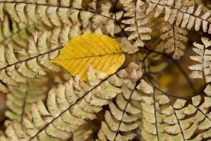 Germany, Autumn Leaves of Fern by K. Schlierbach