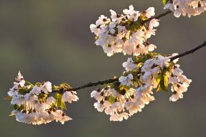 Germany, Cherry Blossoms in the Morning Light by K. Schlierbach