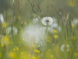 Germany, Dandelion in Flower Meadow by K. Schlierbach