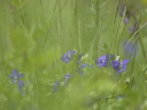 Germany, Flower of Dog-Violet by K. Schlierbach