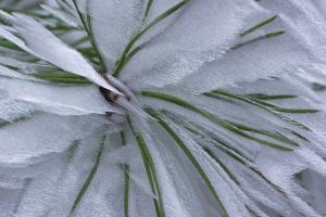Germany, Hoarfrost on a Pine Whorl by K. Schlierbach