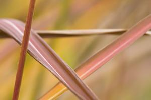 Germany, Reed Leaves, Autumn Colours, Graphic Pattern by K. Schlierbach