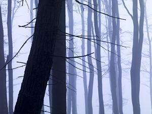 Germany, Siegbach, Pine and Beeches in Fog, by K. Schlierbach