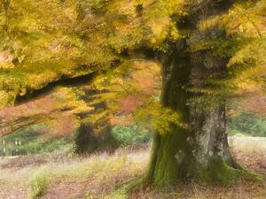 Germany, Steffenberg, Ancient Hutebuchen, Leaves by K. Schlierbach