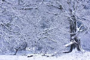 Germany, Steffenberg, Hutebuche in Snow by K. Schlierbach